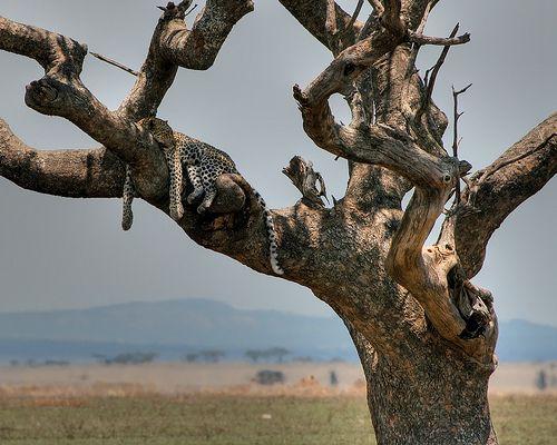 Jaguar tree | Flickr - Photo Sharing!