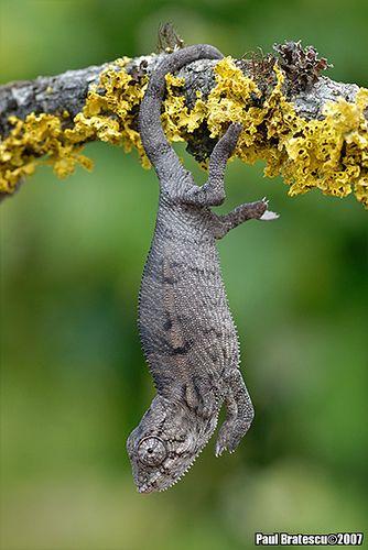 Baby Chameleon by AnimalExplorer