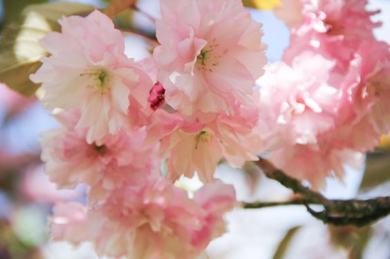 Prunier du Japon en fleurs (via wonderfulbreizh.fr)