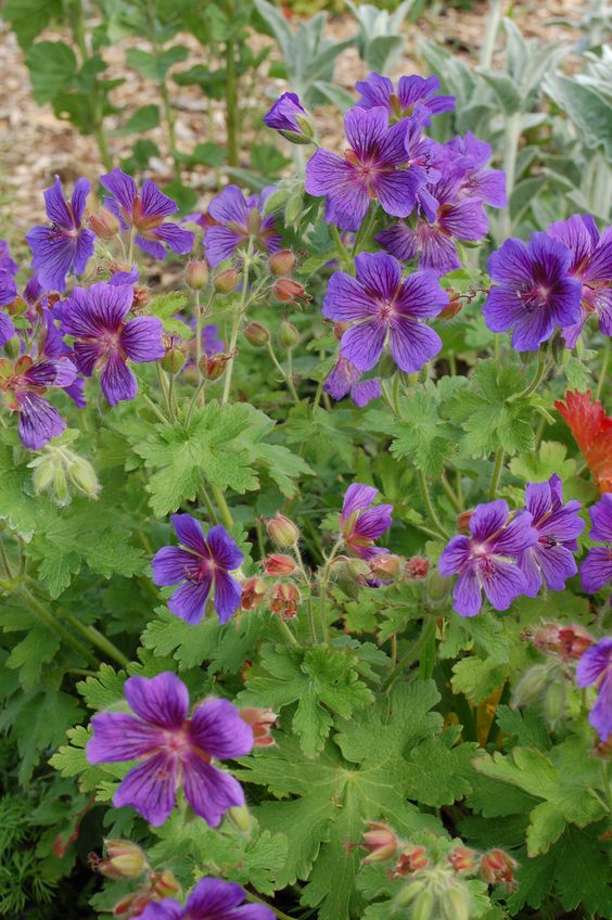 Purple perennial Geranium in the garden of @silviadekker on Instagram