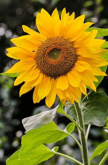 Sunflower | Axel Naud: