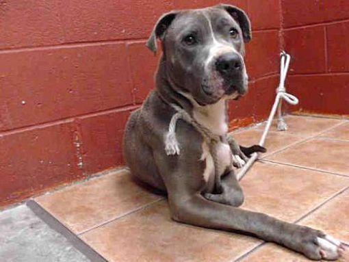 Downey Ca Pit Bull Terrier Meet Mamas A Dog For Adoption Pitbull Terrier Pets Dog Adoption