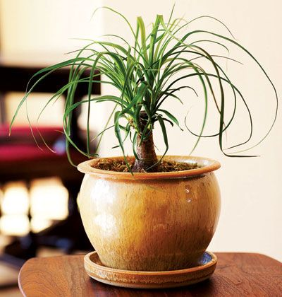 Ponytail palm fantastic indoor plant but just be aware for Ponytail palm cats