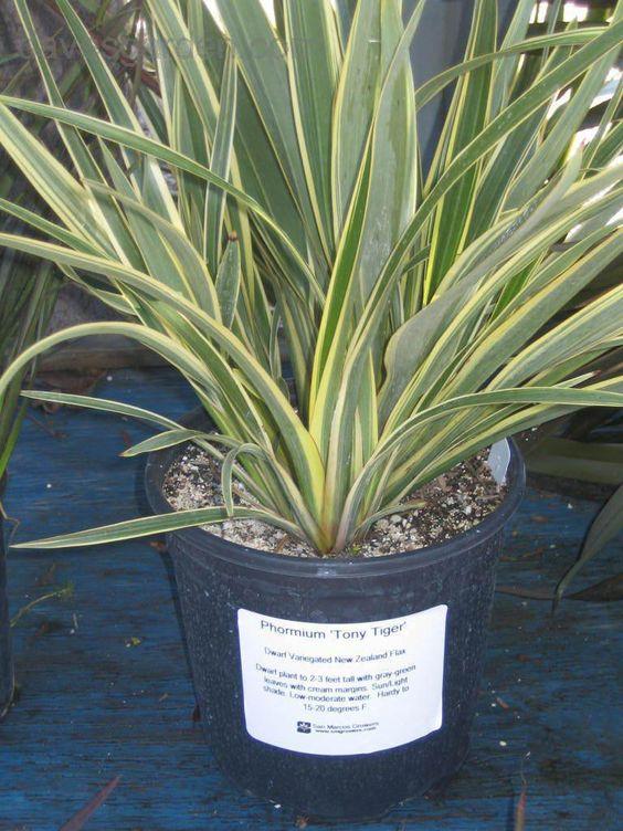 Phormium Tenax Tiny Tiger Dwarf New Zealand Flax Trees To Plant Plants Succulents Garden