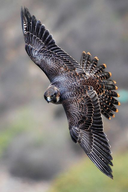 Juvenile Peregrine Falcon - dive can reach estimated speed of more than 200 miles per hour!