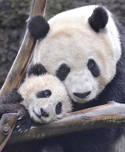 ~~Unbearable love ~ panda cub and mom by Stinkersmell~~