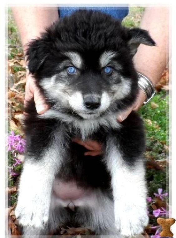 black husky wolf mix puppies | Zoe Fans Blog | Cute Baby ...