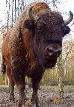 Wisent bison - Google Search