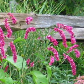 Polygonum Orientale Pink Kiss Me Over The Garden Gate My Cousins Dan Karen Have These