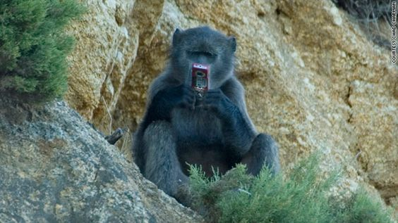 Cachma Baboon, South Africa, beside the road