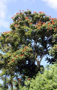 McBryde Garden Featured Plant: African tulip tree  One of the first trees visitors to Hawai'i notice is the showy but invasive African tulip tree (Spathodea campanulata). With its clusters of large reddish orange cup-like flowers, whether rising from the forest canopy or standing alone by the road, this tree is noteworthy not only for its visual presence, but also more importantly the fact that it is one of the most tenacious species in the Hawaiian Islands.  Probably introduced as an orname