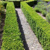 Buxus sempervirens buis commun plante 20 25 cm en for Achat plantes jardin en ligne