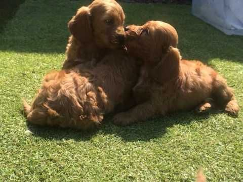 Stunning Cockapoo Puppies Gravesend Kent Pets4homes