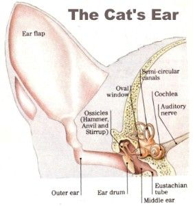 the latest on cat anatomy anatomy and cats : cat ear diagram - findchart.co