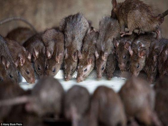 Báo giá dịch vụ diệt chuột tại Hà Nội