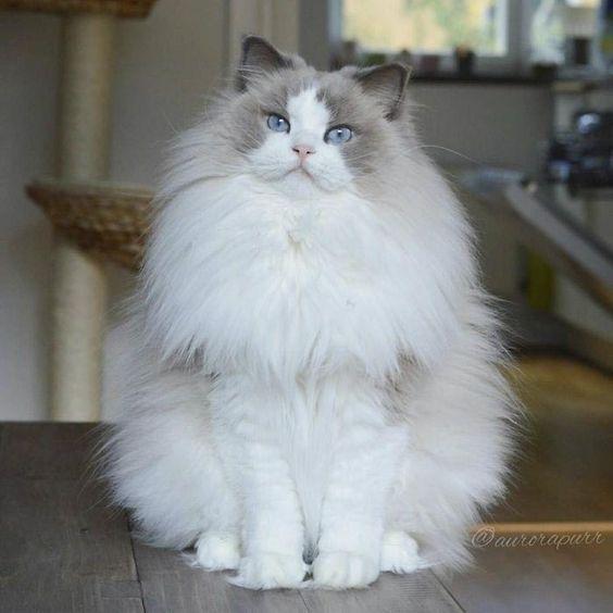 أجمل صور قطط شيرازي فارسي من أيران عالم القطط Fluffy Cat Beautiful Cats Cat Facts