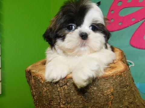 Shih Tzu Puppy For Sale In Hammond In Adn 71847 On Puppyfinder