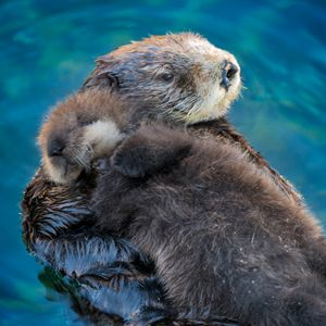 #monterey #california #travelwithkids Monterey Bay Aquarium - Sea otter mom and pup in the Great Tide Pool Deck