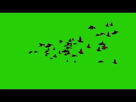 Birds Flying In Group Chromakey Footage Green Screen Youtube Greenscreen Free Green Screen Green Background Video