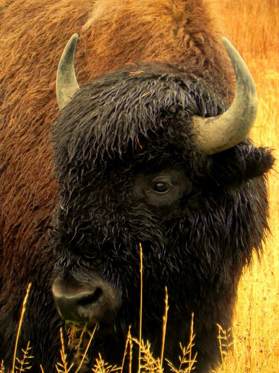 A Bison in Yellowstone National Park Photo and caption by Colleen Cahill @Smithsonian Magazine