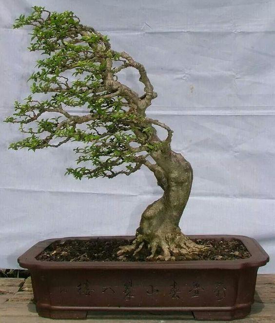 Pin Di Bonsai Trees