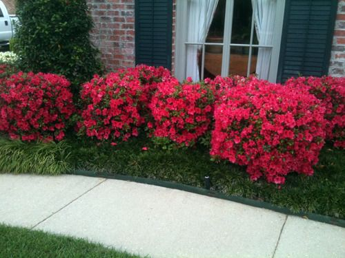 Dwarf red azaleas google search front landscaping for Easy care shrubs front house