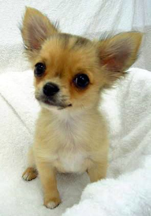 5 Most Adapted Dog Breeds For Hot Climates Chihuahua Welpen Hunderassen Hund Chihuahua