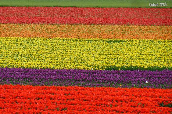 Tulpenfelder im Bollenstreek ~ tulip fields in the Bollenstreek - Bollenstreek: