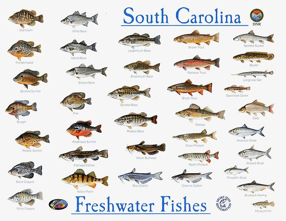 South carolina fish species photos lowcountry fish for Florida freshwater fish species