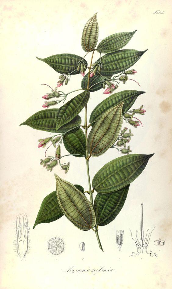 1835-48.t. 1 - Rumphia, sive, Commentationes botanicæ¦ imprimis de plantis…