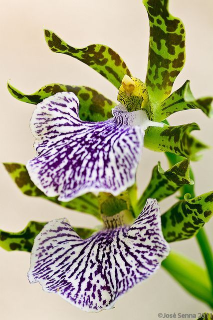 (via Zygopetalum white. | *| Beautiful Flowers |* | Pinterest | Orchids, White Orchids and Orchid Flowers):