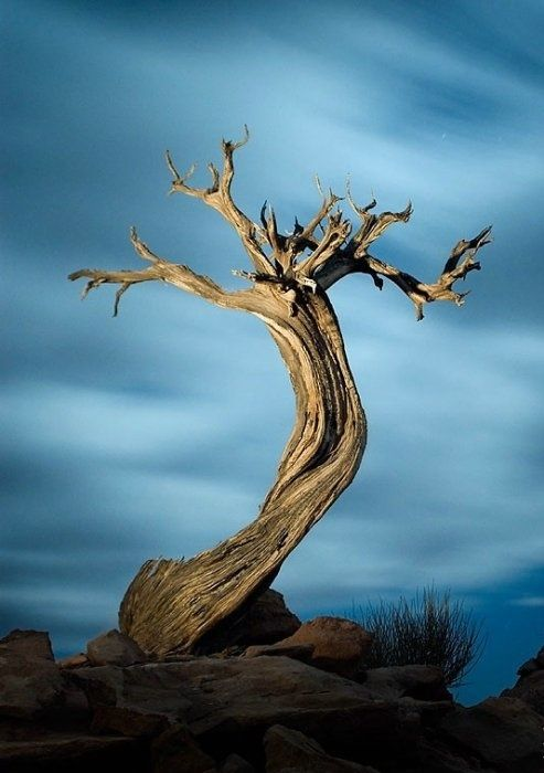 bristlecone pine. Idk but this is really interesting and cool