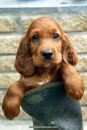 Red Setter puppy in a Wellington boot