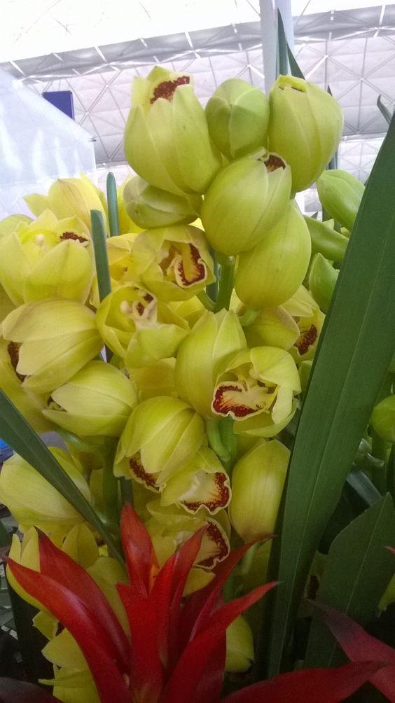 กล้วยไม้ กะเร่กะร่อน Cymbidium Esther