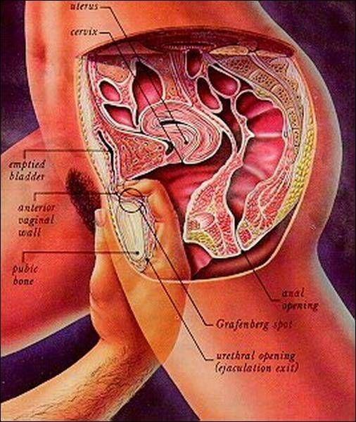 Want anatomy of female sex organ