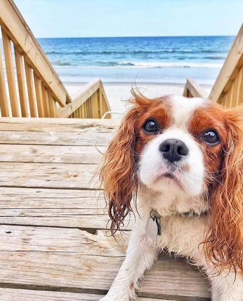 Teddy The Cavalier Loves Myrtle Beach Check Out Pet Friendly Myrtle Beach Accommodations Here Htt Beach Accommodation Myrtle Beach Hotels Pet Friendly Hotels