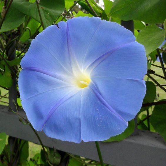 Hier ist der Name noch Programm: Himmelblaue Prachtwinde 'Heavenly Blue' (Ipomoea tricolor).