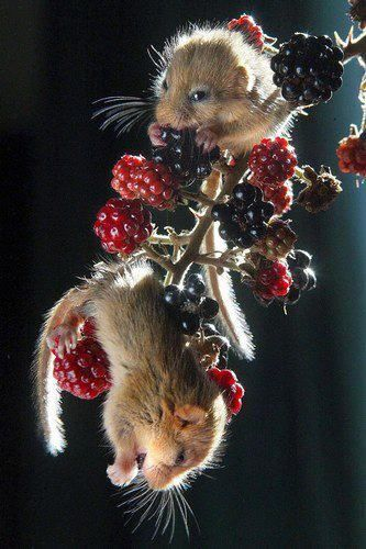 hungry little mice