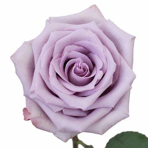 Ocean Song Lavender Rose Fiftyflowers Com Lavender Roses Wedding Flower Guide Wholesale Flowers Wedding