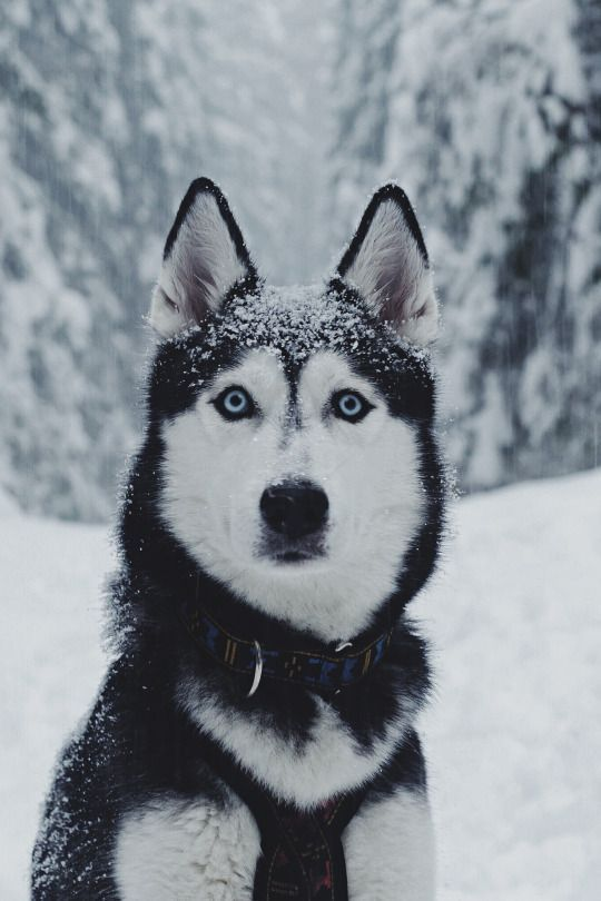 Husky Puppies Husky Puppy Siberian Husky