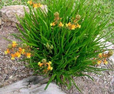 Bulbine ou cebolinha de jardim- perene, floresce na primavera e verão. Necessita de sol e calor. As Bulbines devem ser plantadas em maciços, de preferência diretamente no canteiro ou em vaso com aproximadamente 20 cm de profundidade. É aconselhável irrigar as flores, pelo menos, duas vezes por semana, mas de maneira moderada para não encharcar o solo. Atrai abelhas. Tolerante à seca e a uma ampla faixa climática.