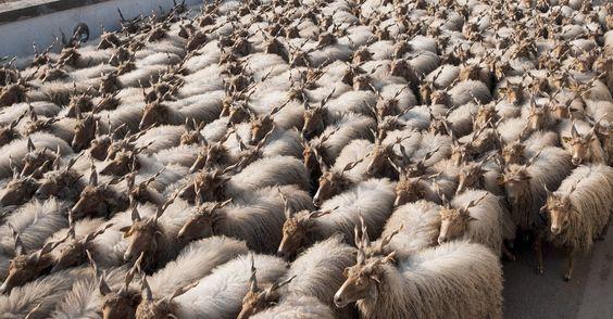 Ovelhas são guiadas por pastor em Hortobagy, a leste de Budapeste, na Hungria Zsolt Czegledi/Epa/Efe