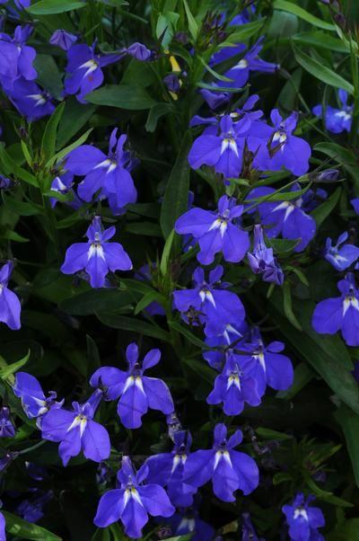 Lobelia erinus Magadi Blue | Lucas Greenhouses