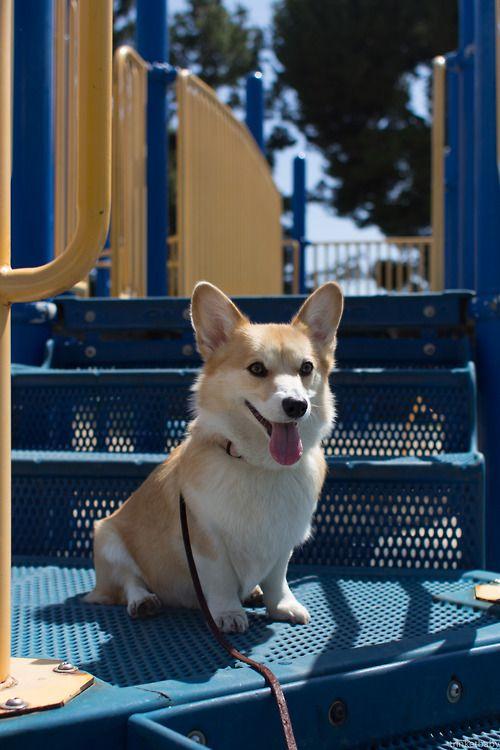 corgi patrol on the playground