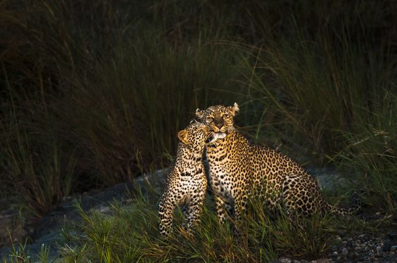 Images of Leopards behavior, portraits and landscapes | Federico Veronesi Photography