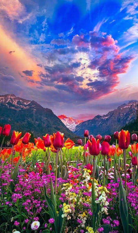夕焼けのチューリップが綺麗で美しい花畑
