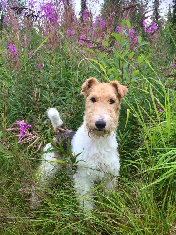 Wire Fox Terrier...Did you see the squirrel?