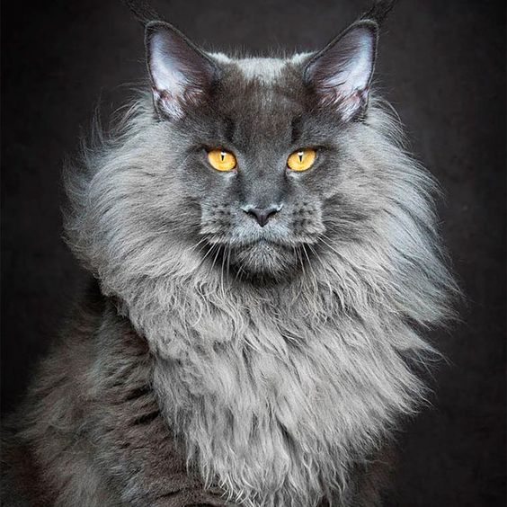 The Maine Coon is probably one of the most impressive cat breeds, startingwith its size. The photographerRobert Sijka, based in Hong Kong, decided to pay tr