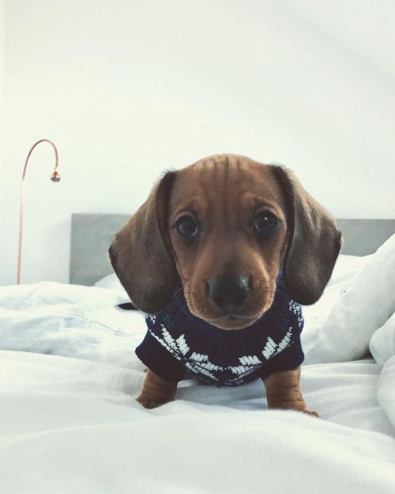 How To Raise A Happy And Healthy Dachshund Dachshund Breed