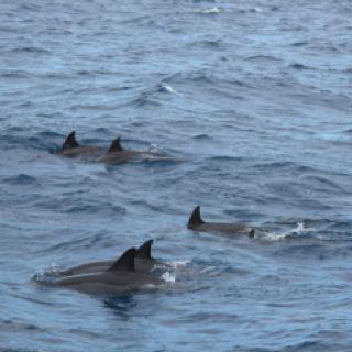 Ko'olina, Oahu, Hawaii catamaran trip: bottle nose dolphins were numerous and very playful